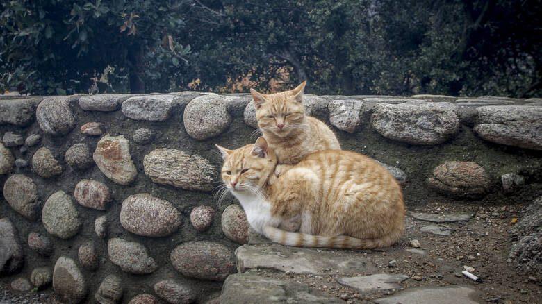 Ο Φιλοζωικός Σύλλογος Καλαμπάκας ΦΙ.ΣΥ.ΚΑ. για τις φόλες σε γάτες στο Καστράκι