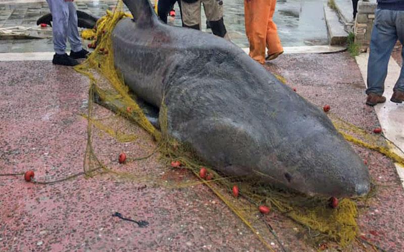 Καρχαρία έβγαλαν στο λιμάνι του Αχιλλείου στον Αλμυρό Μαγνησίας (VIDEO)