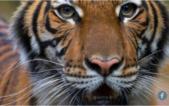 Τίγρης θετική στον κορωνοϊό και λιοντάρια με συμπτώματα