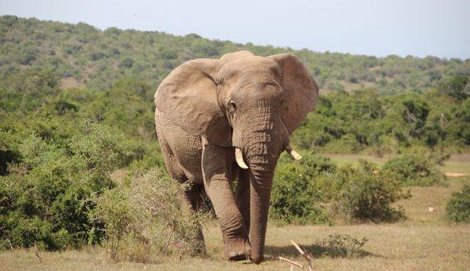 Κατακραυγή στην Ινδία: Νεκρή έγκυος ελεφαντίνα - Έφαγε ανανά με κροτίδα