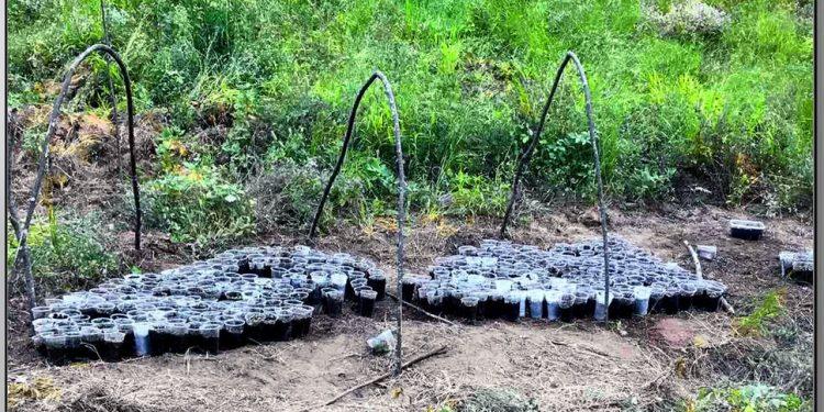 Εντοπίστηκε φυτεία με 589 φυτά κάνναβης σε δάσος στο Μουζάκι