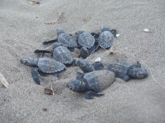 Ρεκόρ αναπαραγωγικής δραστηριότητας της θαλάσσιας χελώνας καρέτα- καρέτα