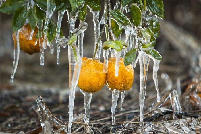 Καλλιεργητικές μεταχειρίσεις για την προστασία των  δενδροκομικών από τον παγετό