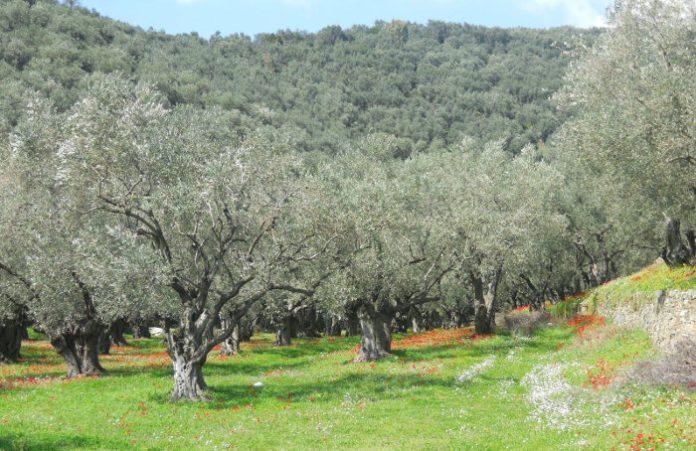 ΔΗΜΟΣ ΜΕΤΕΩΡΩΝ: Υποβολής δηλώσεων για ζημιές σε ελαιόδεντρα