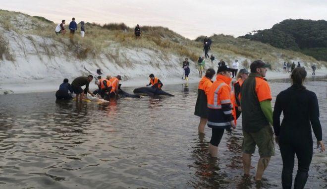 Νέα Ζηλανδία: Εθελοντές διέσωσαν δεκάδες φάλαινες