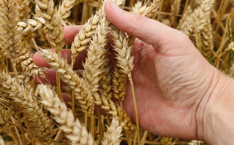 Διεύθυνση Αγροτικής Οικονομίας Περιφέρειας Θεσσαλίας: Ενημέρωση για μυκητολογικές ασθένειες σιτηρών
