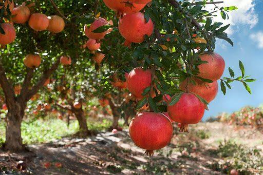 KINHMAΑΛΛΑΓΗΣ Ν.Ε. ΤΡΙΚΑΛΩΝ: Οι καλλιεργητές ροδιάς σε απόγνωση…