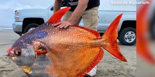 Πολύχρωμο τροπικό ψάρι 45 κιλών ξεβράστηκε σε ακτή του Όρεγκον - Εντυπωσιακές εικόνες