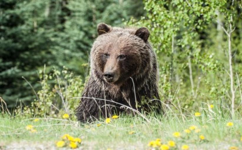 Αρκούδα τράβηξε γυναίκα από τη σκηνή της και τη σκότωσε