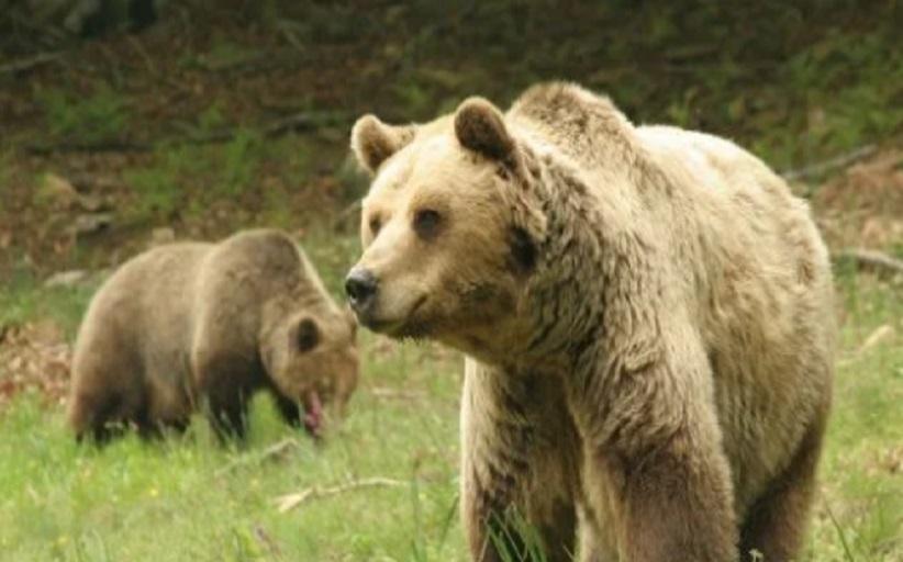 Νεκρή από πυροβολισμό καφέ αρκούδα